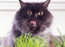 Cat Vomiting Treatment