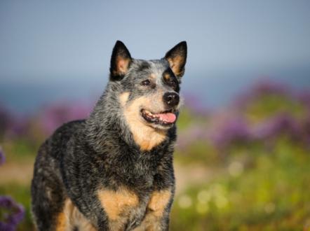 Healthiest Dog Breeds 2019