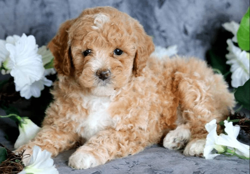 Toy Poodle Breeders