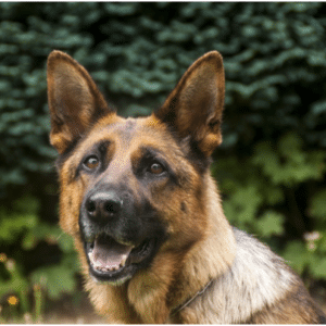 raising a German Shepherd