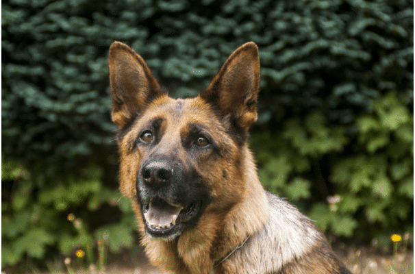 raising a German Shepherd